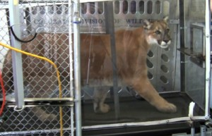 Captive mountain lions were trained to walk and run on a treadmill so researchers could measure oxygen consumption at different activity levels. (Photo courtesy of Nancy Howard, Colorado Parks & Wildlife)
