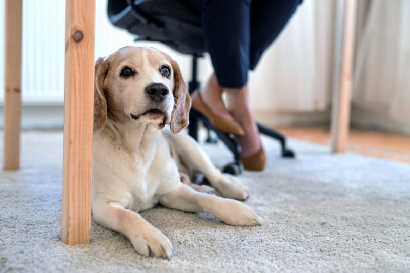 Dog sitting under table while person works above