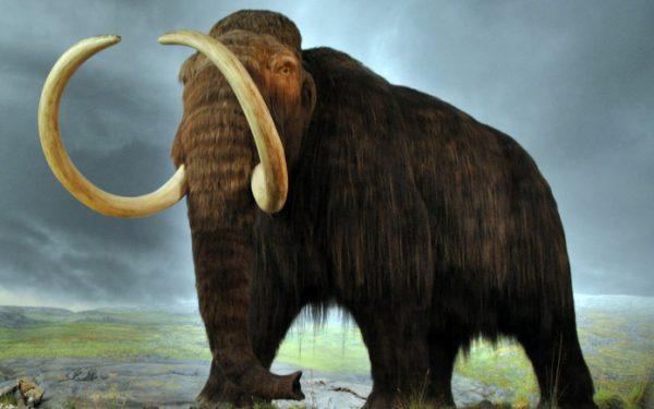 How DNA revealed the woolly mammoth's fate – and what it teaches us today