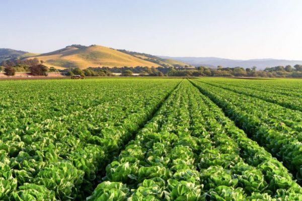 Autonomous Weeders Showing Promise in Lettuce Fields